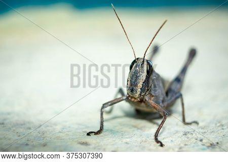 Migratory Locust, Locust, Locusta Migratoria. Grasshopper (locust) Isolated On White Background. Loc
