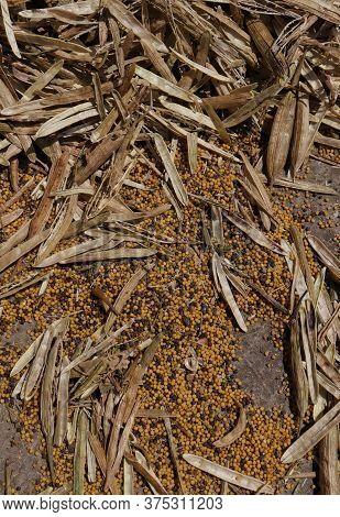 Threshed Mustard Pods On Floor In Vertical Orientation