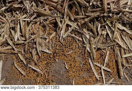 Top View Of Threshed Mustard Pods On Floor