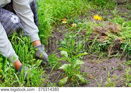 A Farmer In The Garden With His Own Hands Weeds An Echinacea Flower, Harvesting The Weeds Around Him
