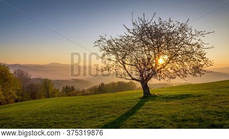 Single Spring Cherry Tree On Meadow. White Blooming Tree And Green Grass Field. Awakening Nature