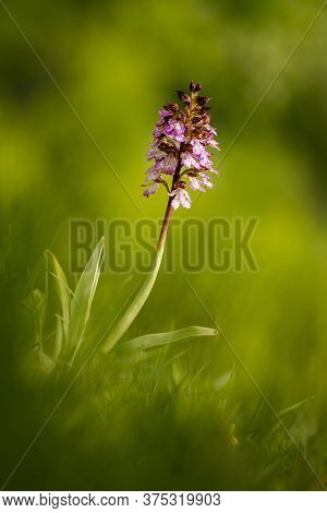 Beautiful Wild Orchid Flower With Purple Petals. Spring Blooming Orchis Purpurea. Law Protected Plan