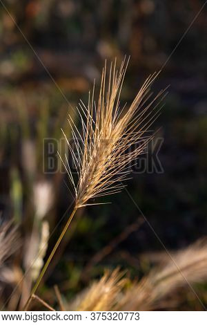 Single Ear Of Rye With Long Spikes Growing In A Field With Blurred Background. Brown And Golden Autu