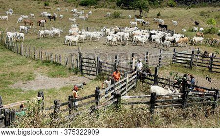 Pau Brazil, Bahia / Brazil - April 15, 2012: Cattle Breeding Is Seen On Farm In The Countryside Of P