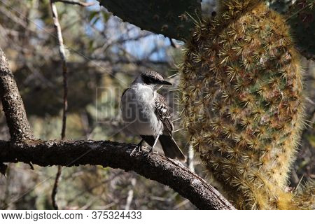 Galapagos Islands Endemic Bird Cucuve Against The Background Of Prickly Pear Cactus