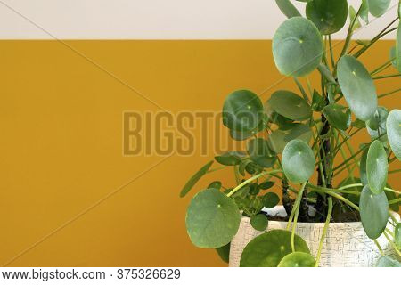 Pilea Peperomioides Plant, Chinese Money Plant Or Pancake Plant Near Half White Half Yellow Painted