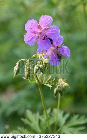Violet Flowers Geranium Pratense (meadow Cranesbill) With Drops Of Rain In Sunlight