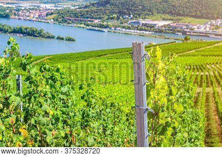 Grapevine Steel Pole And Rows Of Vineyards Green Fields Landscape With Grape Trellis On River Rhine