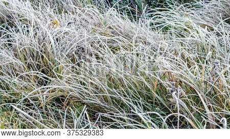Frost-covered Tall Grass, The First Frosts In The Field