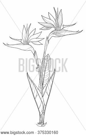 Vector Bunch Of Outline Tropical Strelitzia Reginae Or Bird Of Paradise Flower Bunch And Ornate Leaf