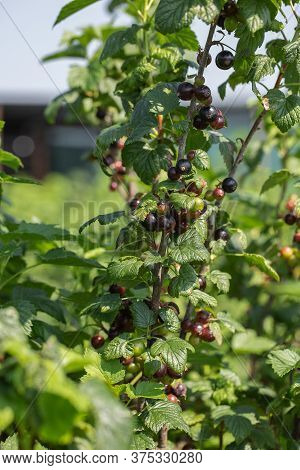 Black Currants On The Bush Branch In The Garden. Young Currant Berries Ripen On A Bush In The Garden