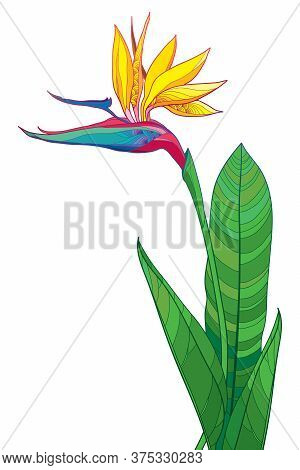 Vector Bouquet Of Outline Tropical Strelitzia Reginae Or Bird Of Paradise Flower Bunch And Ornate Gr