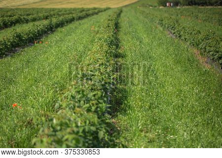 Row Of Blackcurrant Bushes On A Summer Farm In Sunny Day. Location Place Of Ukraine, Europe. Photo O