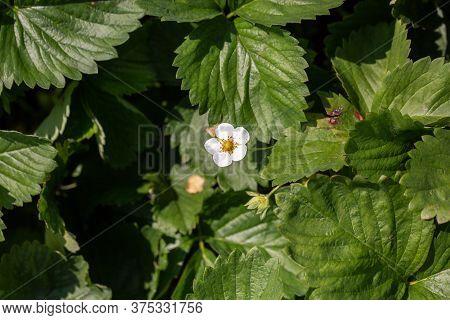 Flowering Bush Strawberries. Flowering Bush Strawberry White Flowers. Abundant Flowering Strawberrie