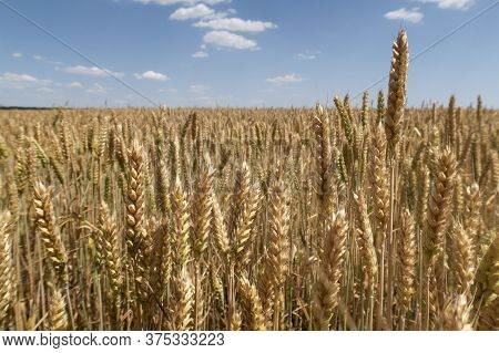 A Field Of Ripe Wheat And A Blue Sky With Clouds