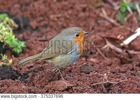Robin Standing On The Earth In A Garden