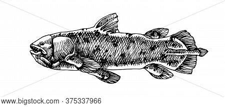 Prehistoric Sea Fish, Coelacanth, Deep Water Ancient Animal, Dinosaur, Vector Illustration With Blac