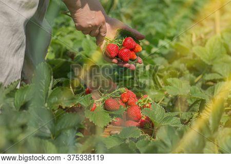 Harvesting Deliciously Red Strawberries. Vegan Vegetarian Home Grown