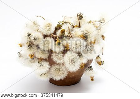 Withered Bouquet Of White Dandelions In A Clay Pot. Design