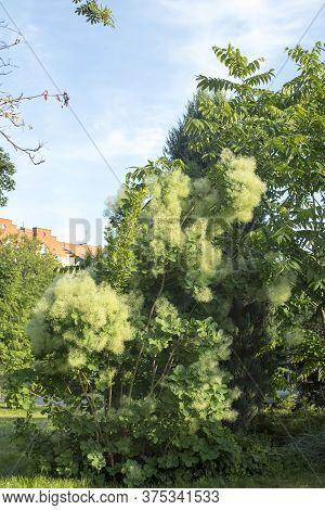 Yellowish Pink Feathery Plumes Of European Smoketree In June