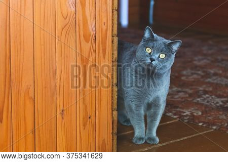 A British Gray Cat With Large Yellow Eyes Appears From Around The Corner. A Beautiful Purebred Cat L