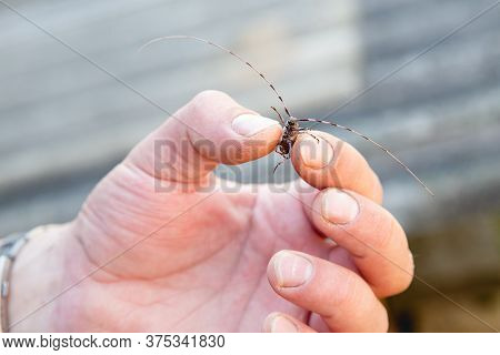 Mans Hand Holds For A Very Long Time. Beetle Cerambycidae. Catch An Insect. Destruction Tree. Fight