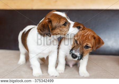Two Cute Puppies Jack Russell Terrier On A Beige Brown Background. A Puppy Whispers In The Ear A Sec
