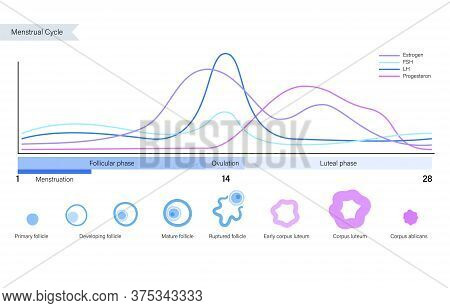 Menstrual Cycle Diagram. Woman Health Concept. Menstruation Phases. Ovum Development. Pergnancy And