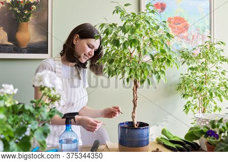 Girl Fertilizes Plant Ficus Benjamina Tree In Pot With Mineral Fertilizer In Sticks At Home. Cultiva