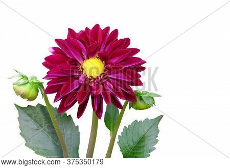 Burgundy Dahlia With A Yellow Center With Leaves And A Bud Isolated On White Background