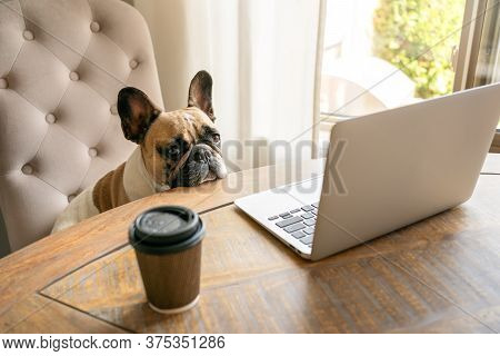 French Bulldog Sitting On A Chair And Looking Tired At The Camera During Working On Laptop Staying O