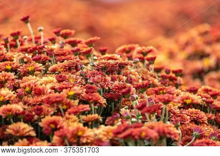 Orange Chrysanthemums Growing In The Autumn Park. Flowerbed Of Bright Orange Spray Chrysanthemum.