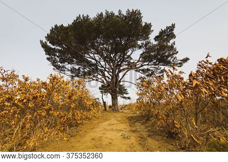 The Tree Stands In The Middle Of A Rural Dirt Road In The Autumn Season, With Dried Shrubs To The Ri