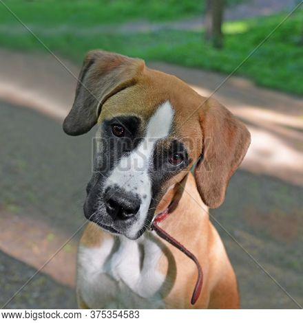 Portrait Of Puppy Junior Breed Boxer With Touching Bowled Head Against Of Blur Shady Park. Focus On