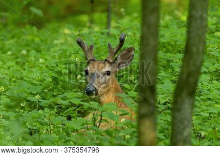 Young White Tailed Deer With Growing Antlers In Velvet. Natural Scene  From  Wisconsin State Park