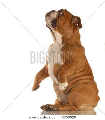Bulldog Sitting Pretty
