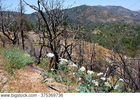 Matilija Poppy Plant Flower Blossoms Besides Burnt Chaparral Plants Caused From A Past Wildfire Take