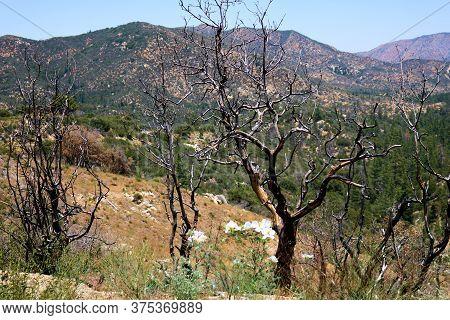 Charcoaled Landscape Including Burnt Chaparral Shrubs On An Arid Plateau Taken In The Rural San Gabr