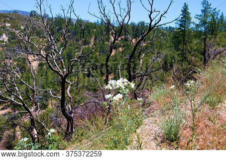 Matilija Poppy Plant Flower Blossoms Besides Burnt Chaparral Shrubs Caused From A Past Wildfire Take