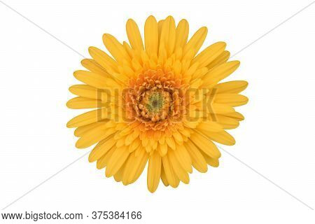 Vibrant Yellow Gerbera Flower Isolated On A White Background Isolated With Clipping Path. Close-up O