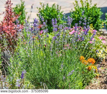Flowering Bush Of Lavender. Lavanda (lat. Lavandula) - A Genus Of Plants Of The Family Lamiaceae (la