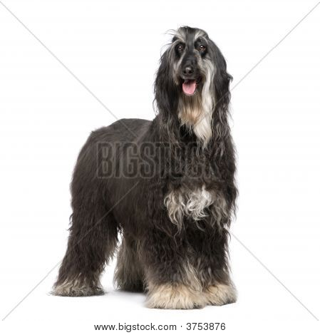 Afghan Hound (7 years) in front of a white background poster