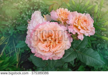 Blooming Orange Rose. Rose With Wavy Edges Of Petals