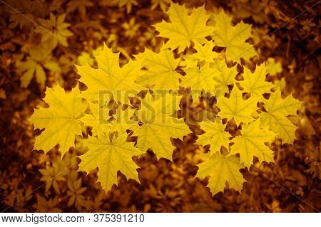 Yellow Maple Leaves On A Young Tree Against The Forest Canopy. Natural Background