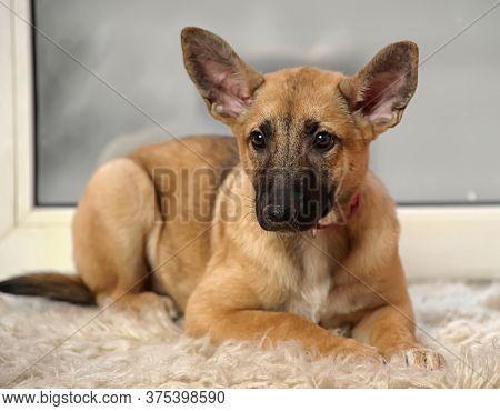 Cute Eared Puppy With An Unhappy Sight