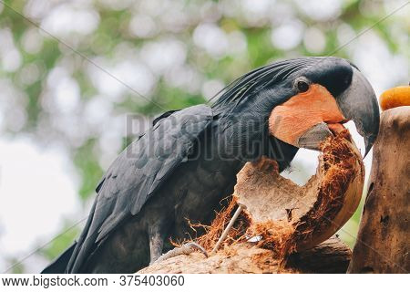 Palm Cockatoo (probosciger Aterrimus) Eating Coconut Shell. Dark Parrot In Green Forest Habitat. Big