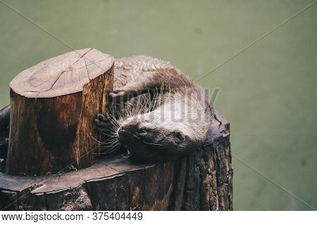 Oriental Small-clawed Otter (amblonyx Cinereus), Also Known As The Asian Small-clawed Otter Standing