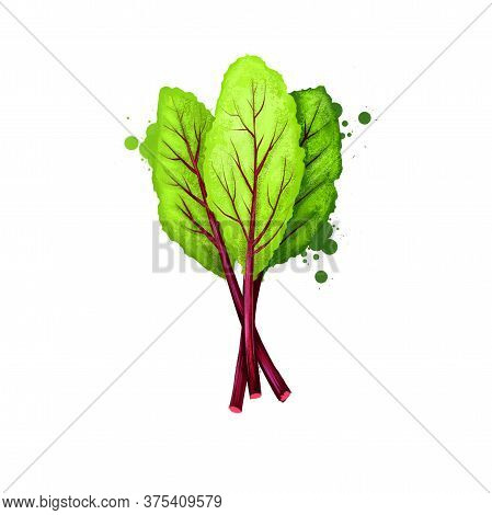 Beet Greens Vegetable Isolated On White. Hand Drawn Illustration Of Beetroot Leaves Plant, Table Bee