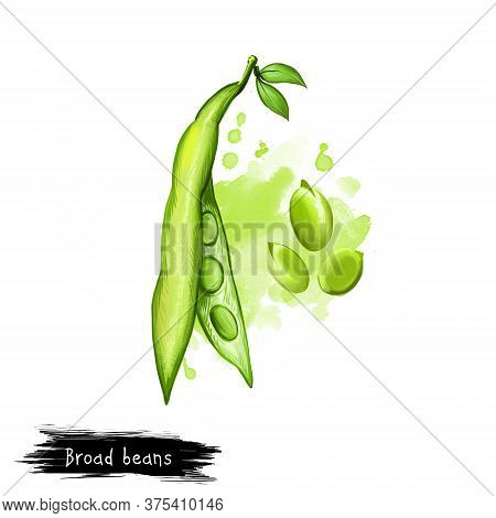 Broad Beans. Digital Art Illustration Of Vicia Faba, Also Known Fava Or Faba, Field Or Bell English
