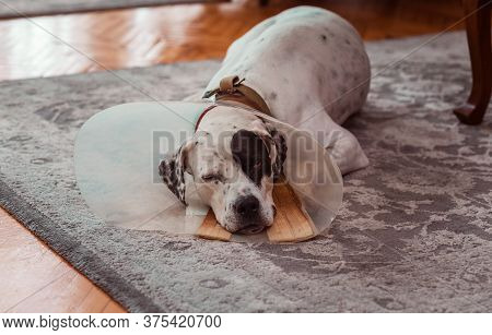 Dog In Protective Medical Plastic Collar